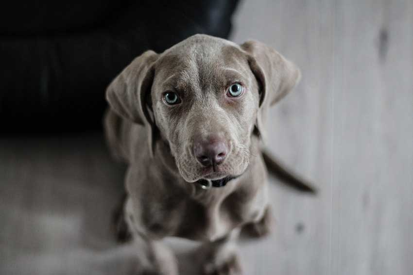 Weimaraner sitting politely during dog obedience training.