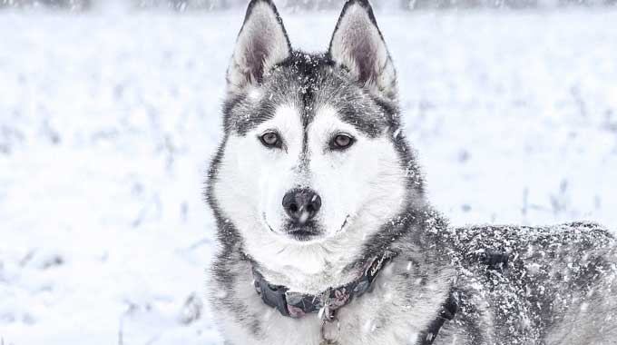 Top 10 Cold Weather Dogs Bred For Climates