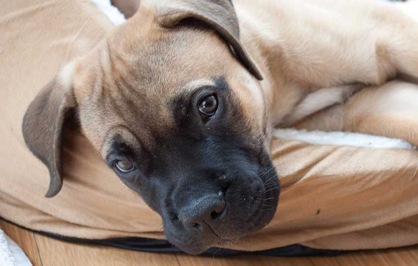 Bullmastiff puppy laying on bed.