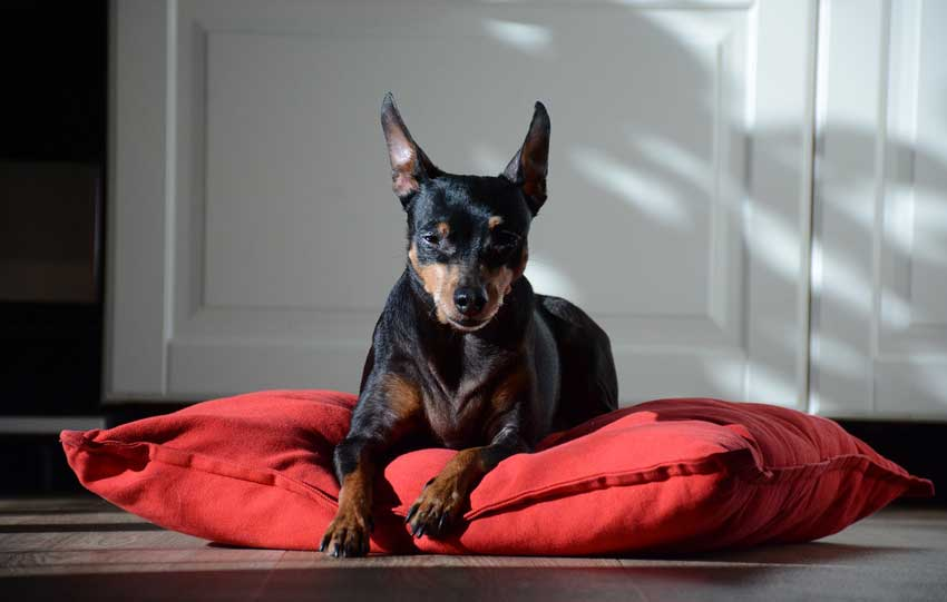 Miniature Pinscher resting on his doggy bed.