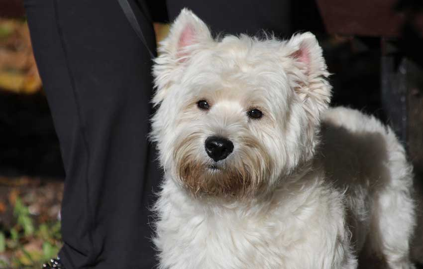 West Highland White Terrier sitting politely.