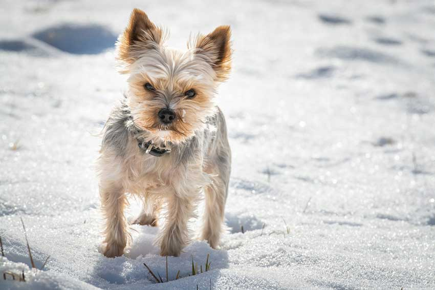 Yorkie Shaking In The Snow.