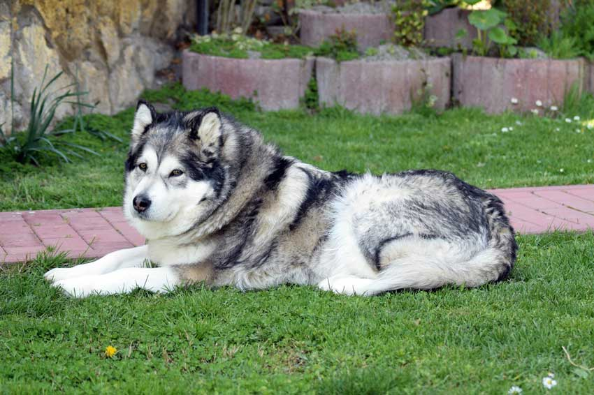Alaskan Malamute laying in grass.