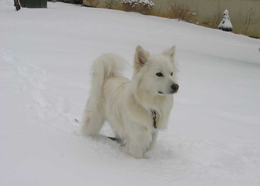 American Eskimo Dog standing in now.