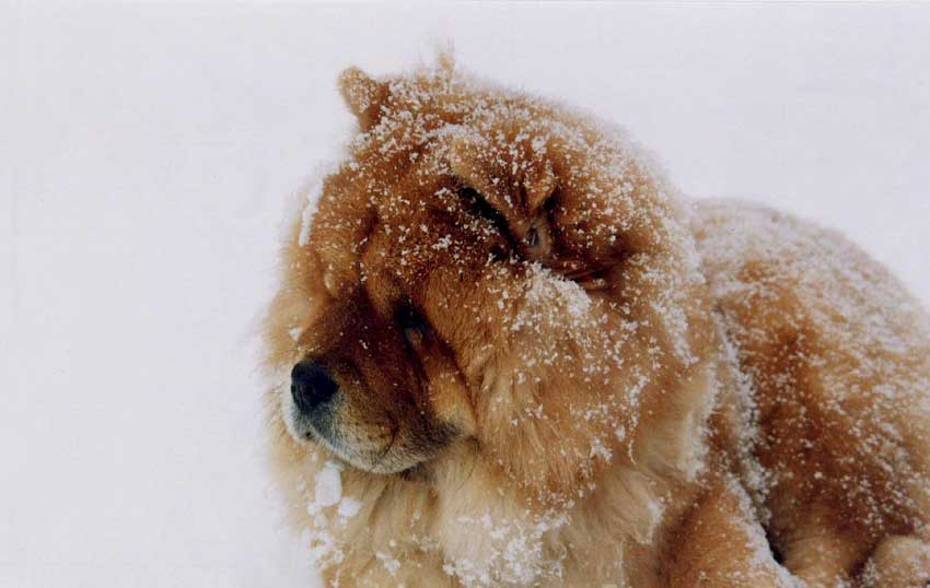 Chow Chow covered in snow.