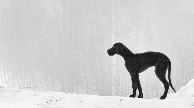 Black Great Dane with average lifespan.