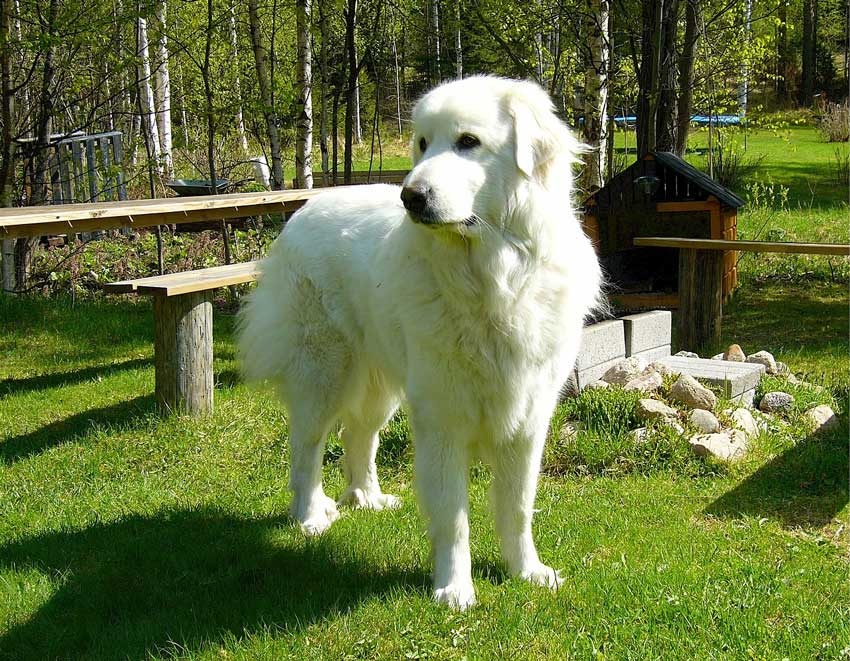 Great Pyrenees standing in the yard.