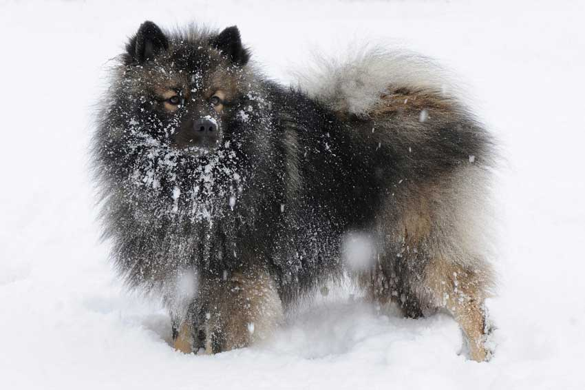 Keeshond covered in snow.