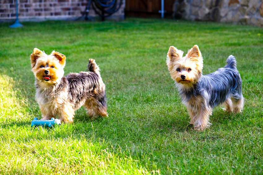 Two Yorkshire Terriers playing outside.