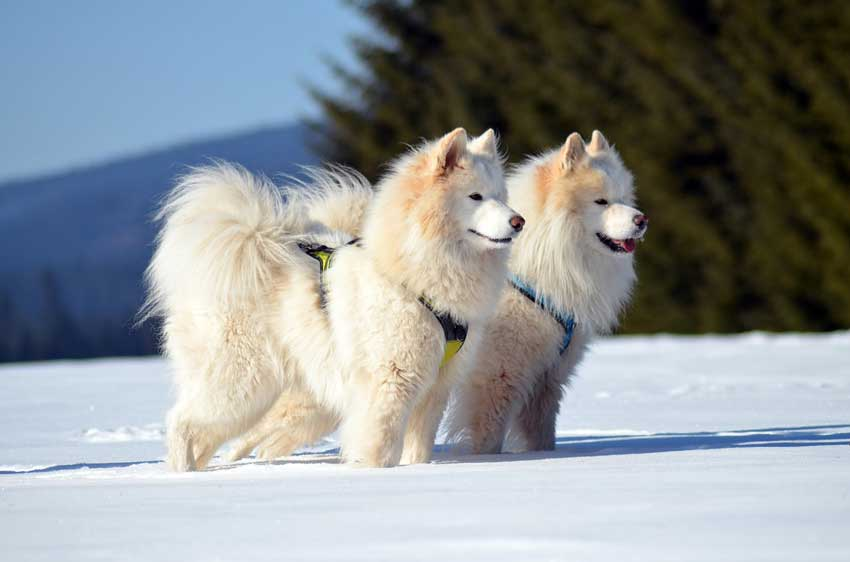 Two Samoyeds ready to pull sled.