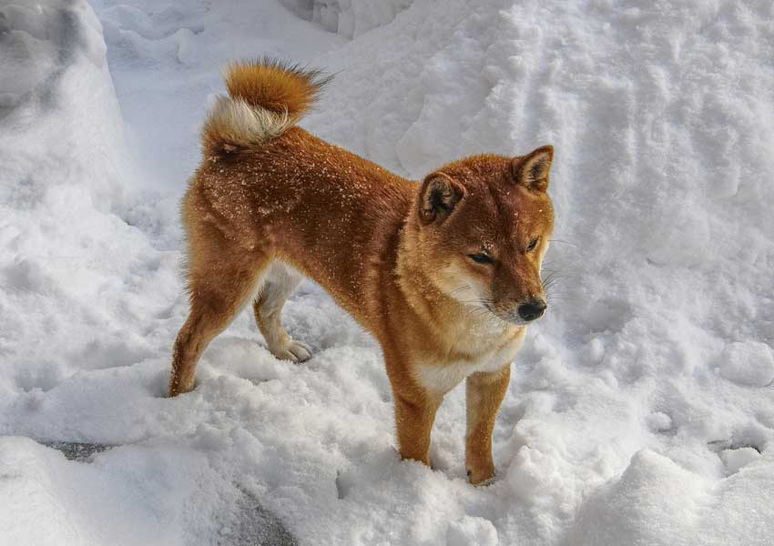 Shiba Inu sifting through a snowbank.