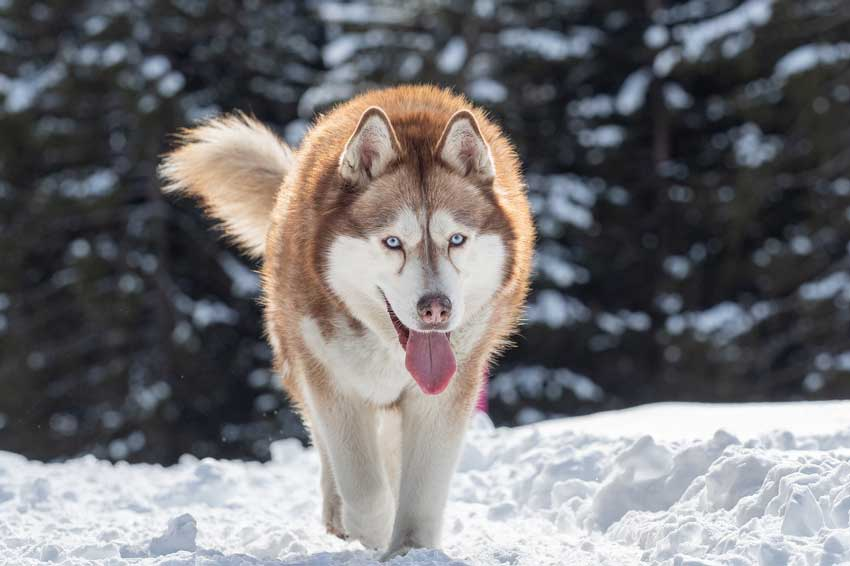 Adult Siberian Husky tracking through snow.