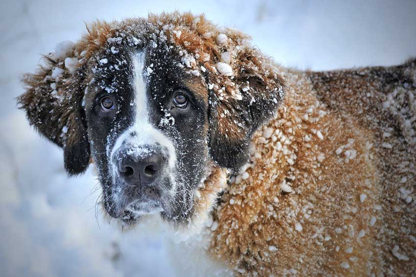St. Bernard covered in snow.