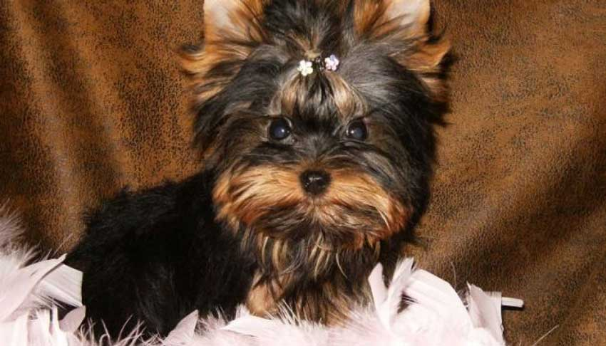 Cute Yorkie laying on a fluffy bed.
