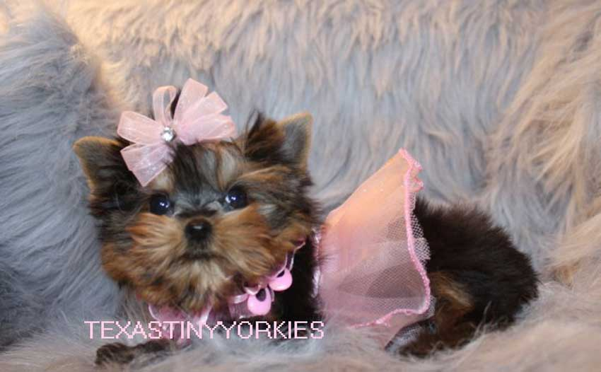 Tiny Teacup Yorkie wearing a bow and tutu.
