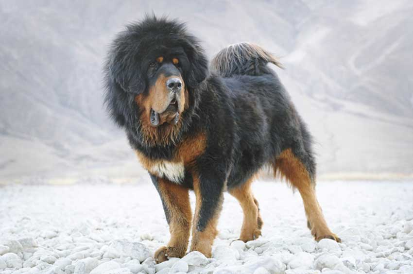 Black and brown Tibetan Mastiff walking over snowy terrain.