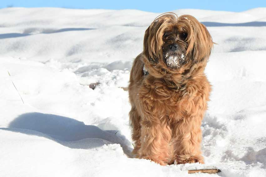 Tibetan Terrier walking through deep snow.