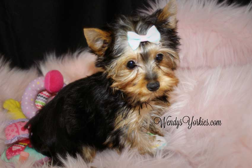 Adorable Yorkie puppy resting on a soft blanket.