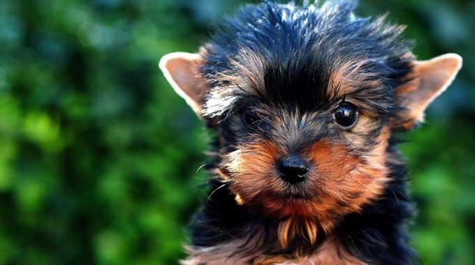 Top Yorkie Breeders in Texas - DogBlend