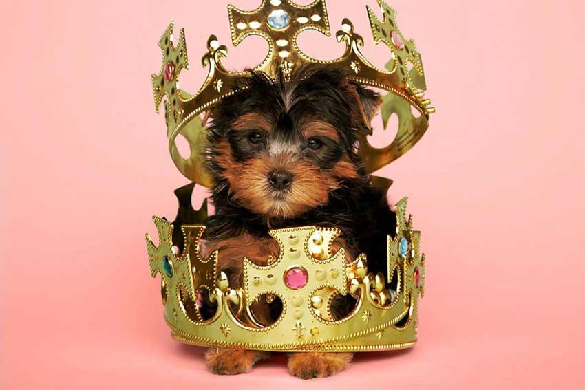 Yorkie puppy wearing a king's crown.