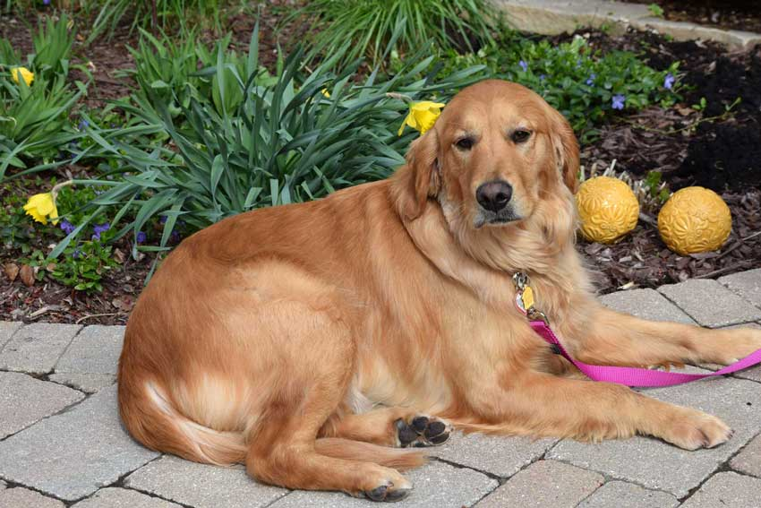 Golden Retriever sitting patiently, waiting to be adopted.