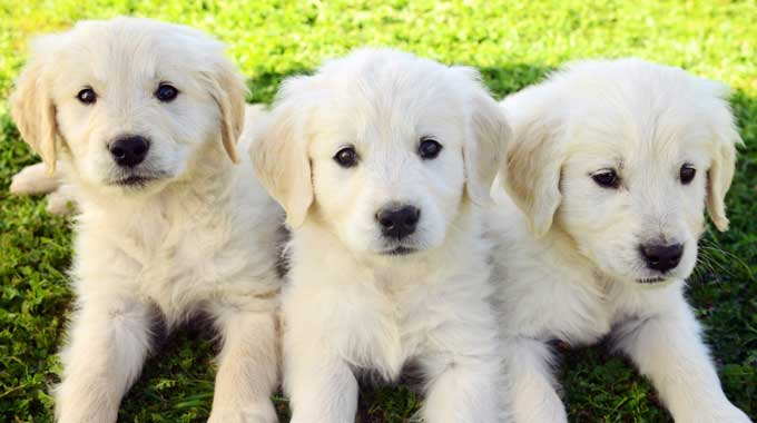 Top 5 Golden Retriever Breeders In California Dogblend