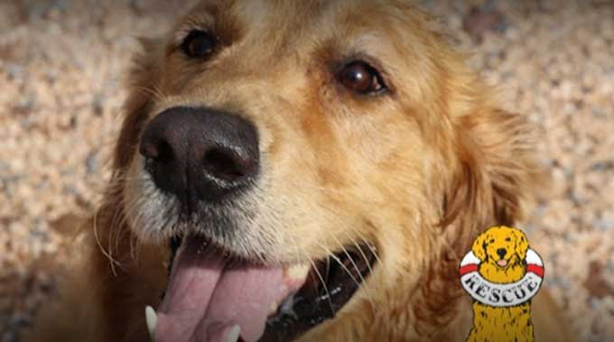 Best Golden Retriever Rescue Organizations in the U S  - DogBlend