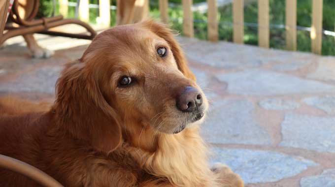 Sad-looking Golden Retriever Rescue waiting for owner to come home.