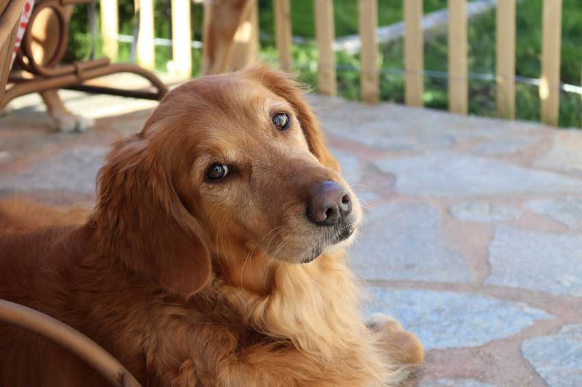 Golden Retriever On A Porch Looking Sad.