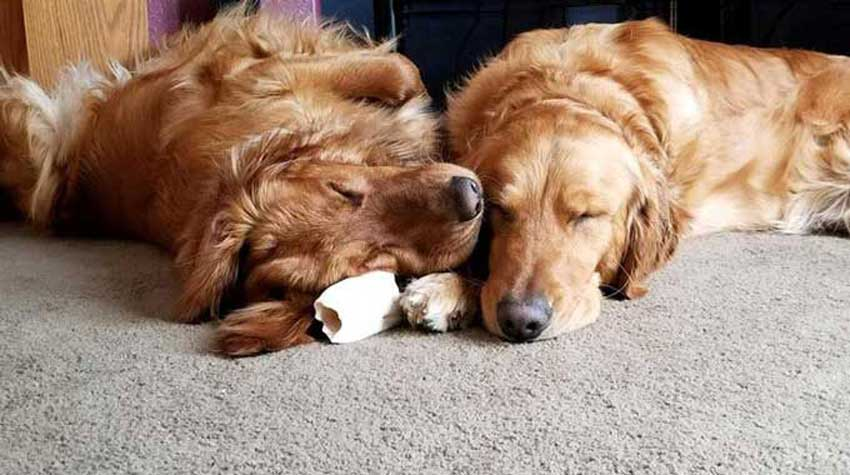 Two Golden Retrievers sleeping at home.