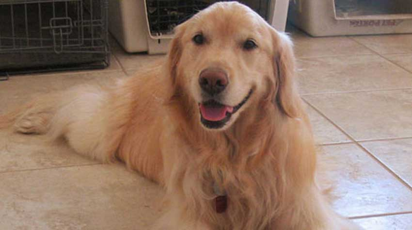 Beautiful Golden Retriever cooling down on a hot day.