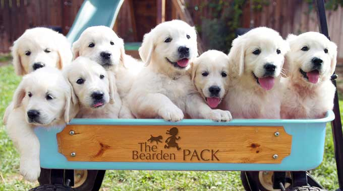 The Bearden Pack golden retriever puppies.