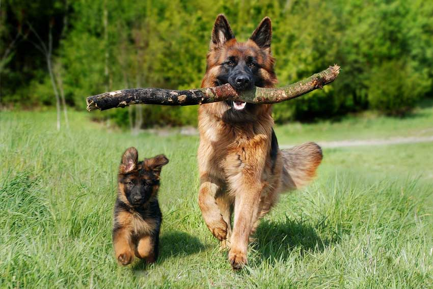 5 Best German Shepherd Breeders In Pennsylvania