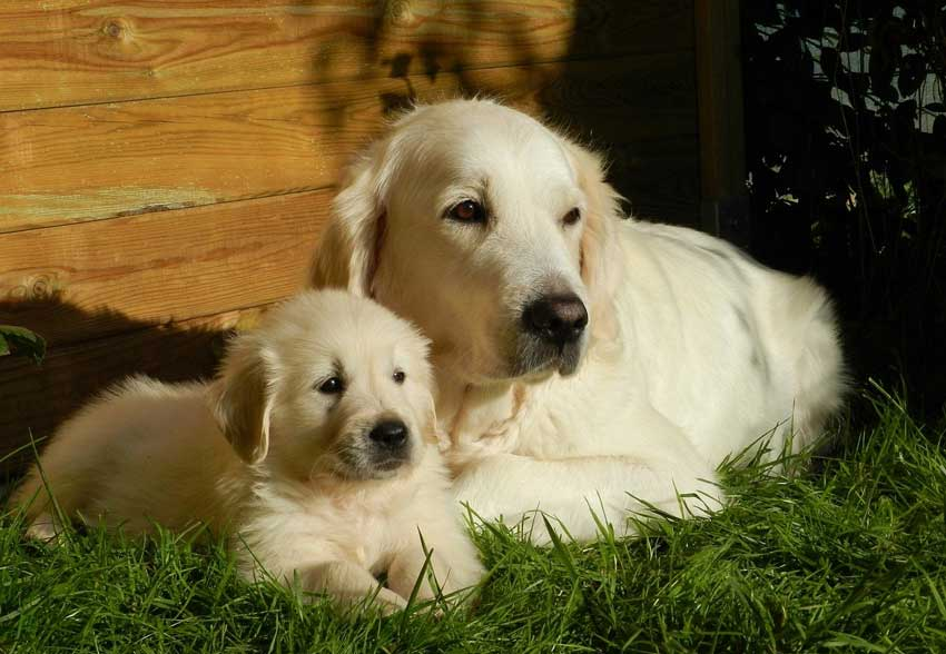 Two Golden Retrievers Resting In The Sun.