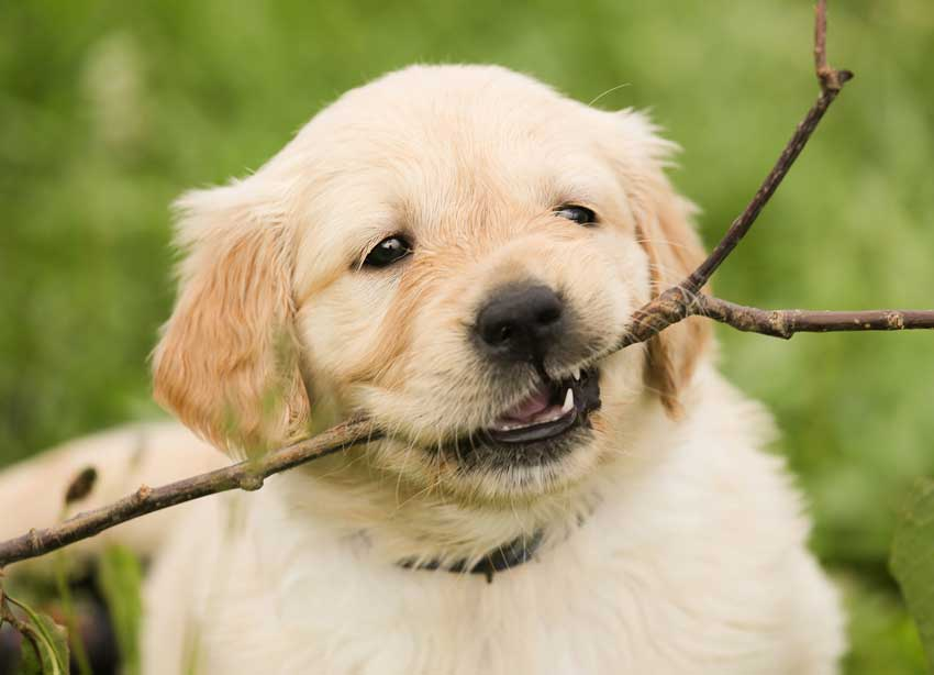 Golden Retriever puppy runs with a stick in his mouth.