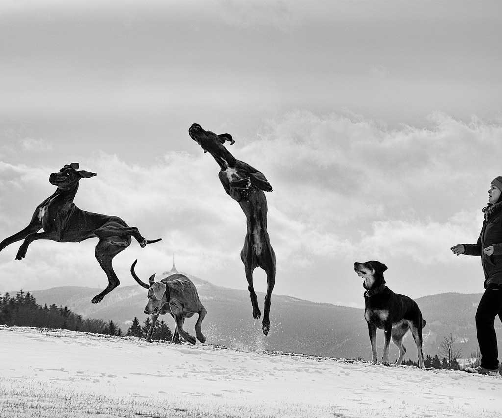 Jumping Great Dane With An Optimal Great Dane Lifespan.