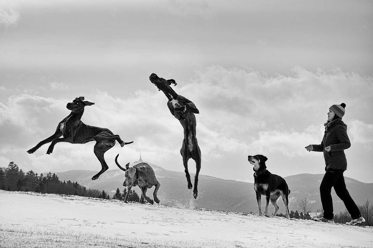 Jumping Great Dane with an optimal Great Dane Lifespan.