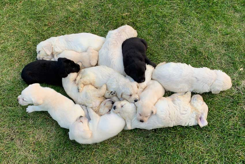 Adorable golden retriever puppies sleeping outside.