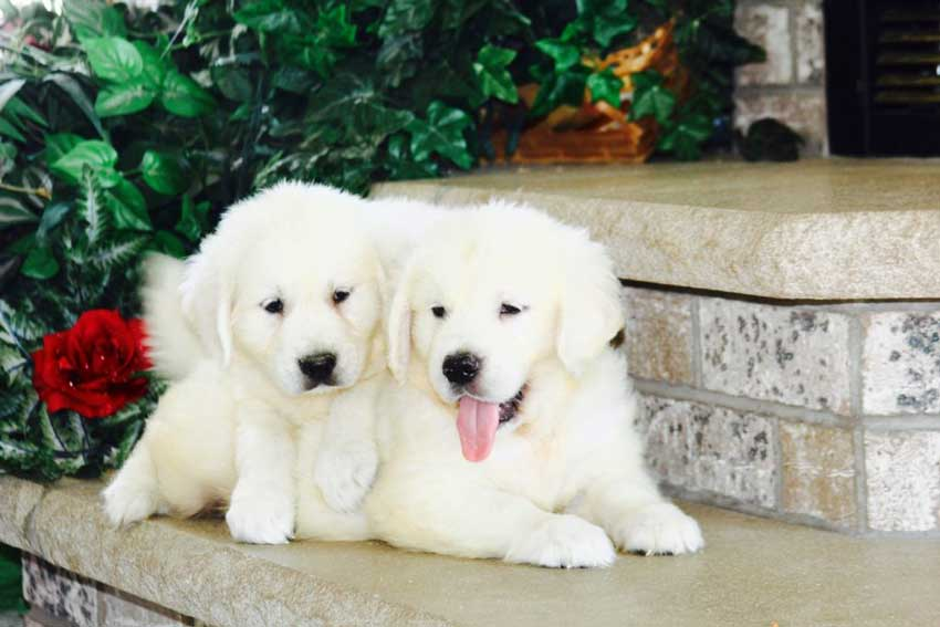 Two English cream golden retriever puppies playing.
