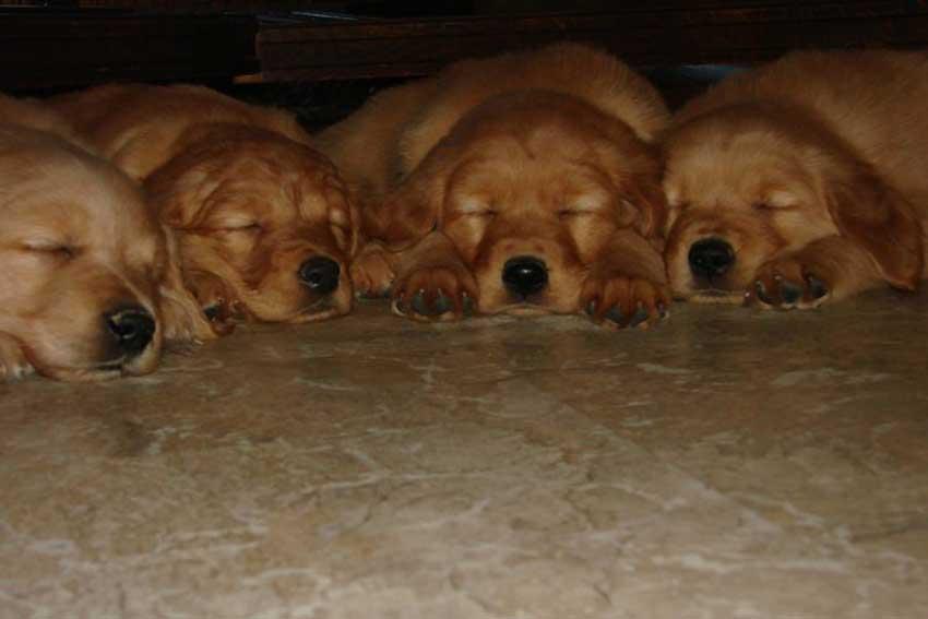 Golden Retriever puppies sleeping.