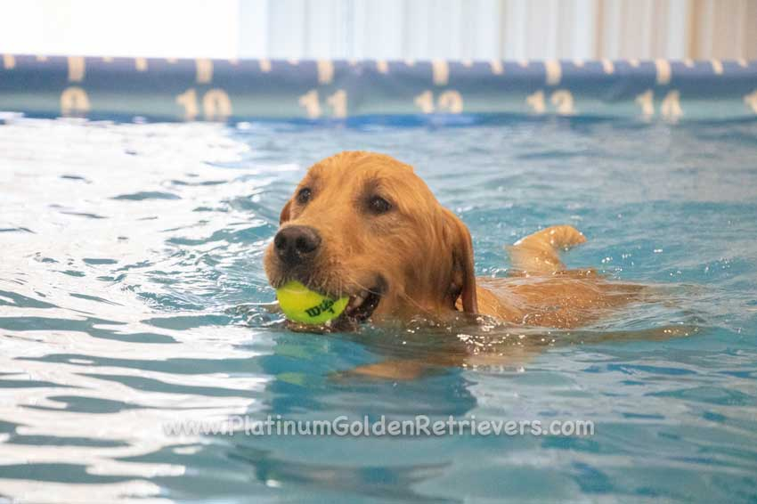 Golden Retriever swimming in the pool.