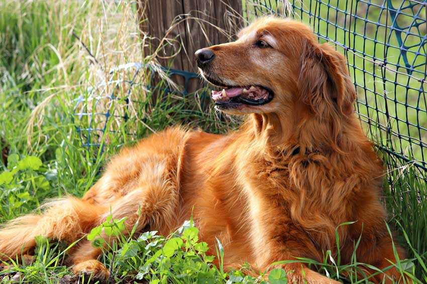 Why Are Some Golden Retrievers Red?