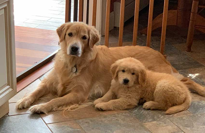 Beautiful Golden Retriever with her young puppy.