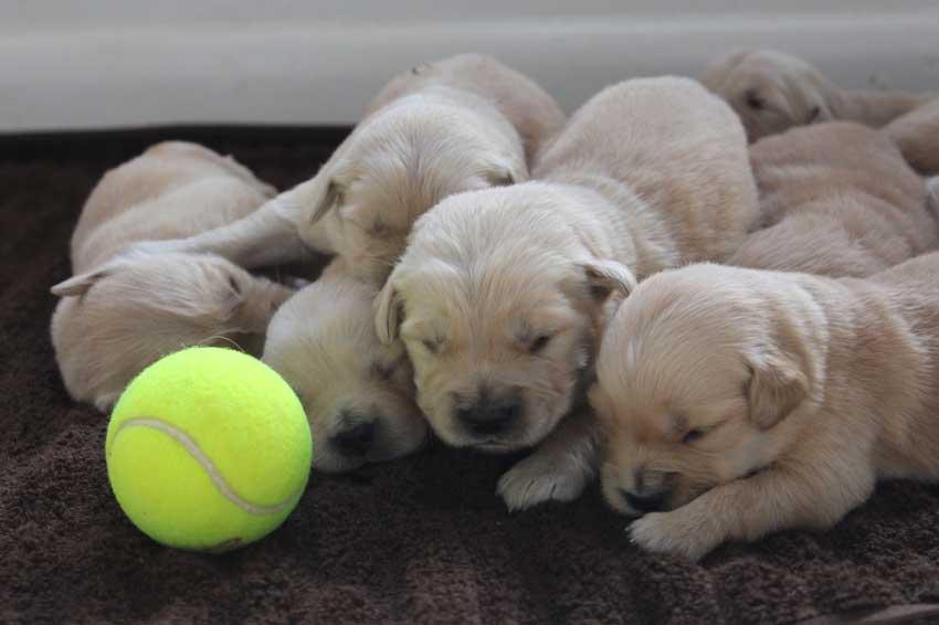 Newborn golden retriever puppies resting.