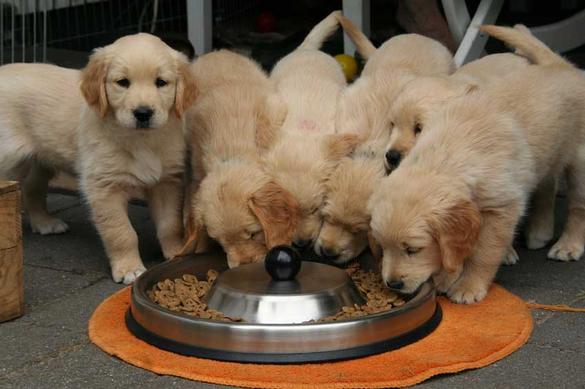 Several golden retriever puppies eating from a big bowl.
