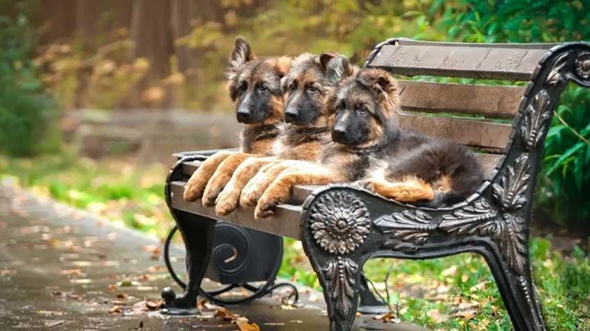 Three German Shepherd puppies sitting on a bench.
