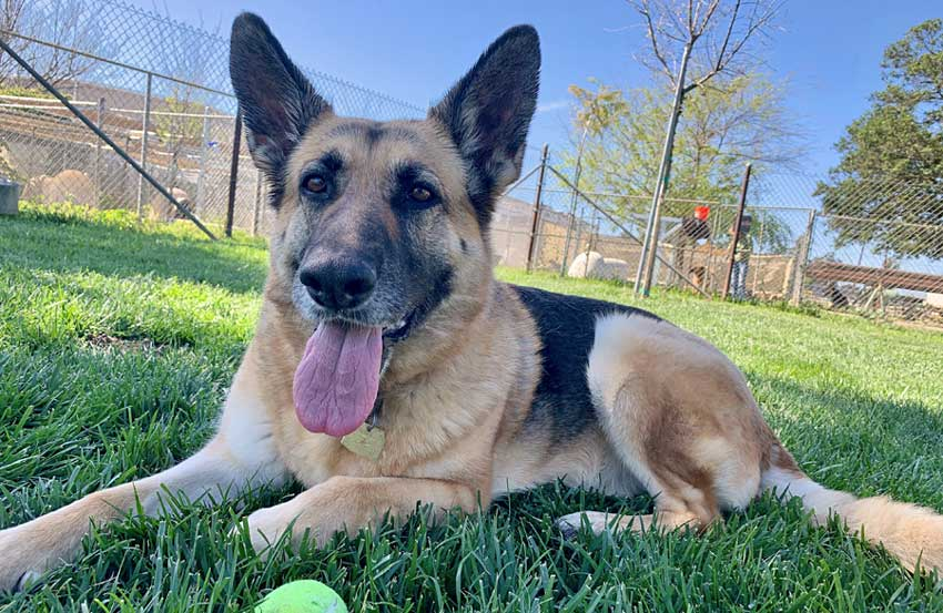 Adult German Shepherd panting after playing catch.