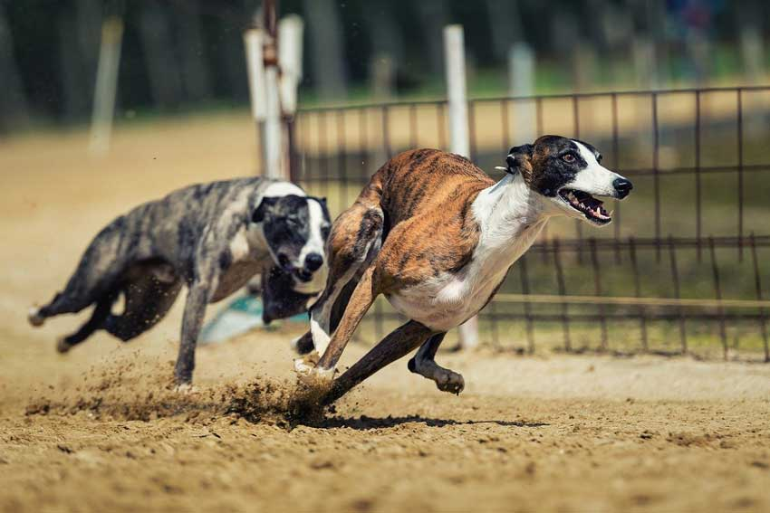 The 10 fastest dog breeds racing.