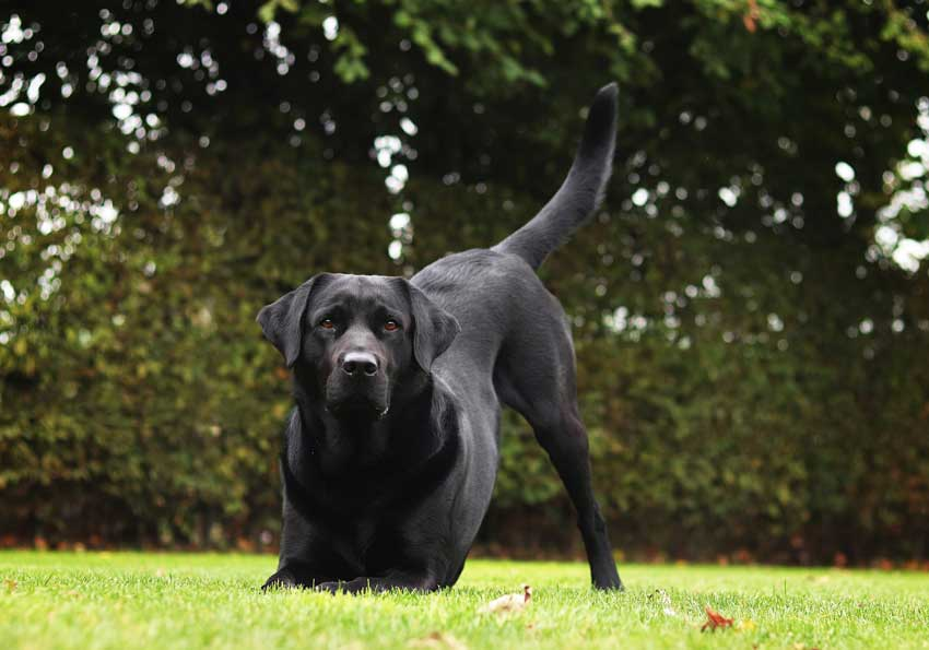 Athletic Labrador ready to pounce. Truly one of the best police dog breeds.