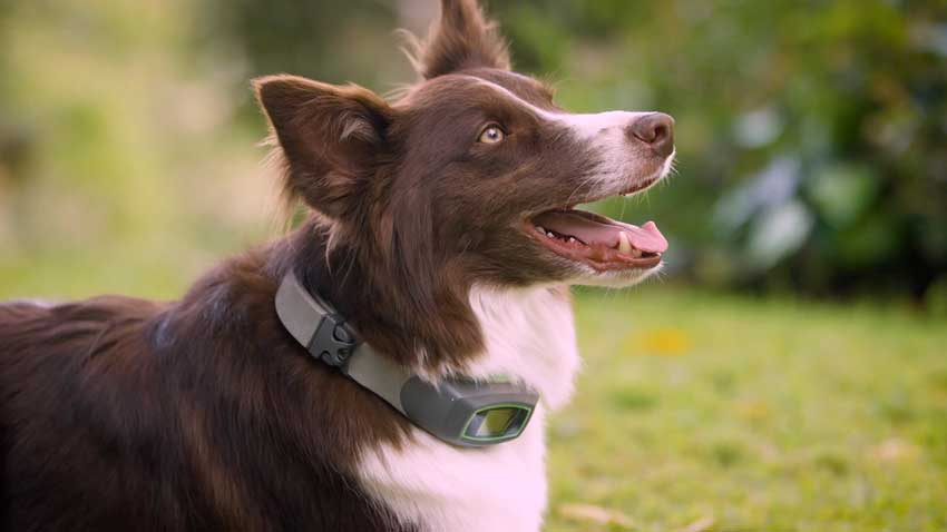 Handsome Border Collie Wearing His SpotOn Virtual Smart Fence.